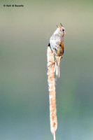 Swamp Sparrow ......singing