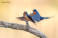 Barn Swallows at it