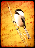 SINGING CHICKADEE